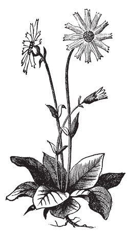 tabacco: Arnica montana flower, aslo known as wolfs bane, leopards bane, mountain tabacco and mountain arnica old engraving. Arnica plant isolated against a white background. Vector, engraved illustration.