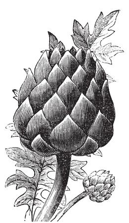 Artischocke, Artischocke oder Cynara cardunculus alten Stich. Alt eingraviert Darstellung einer Nahaufnahme von einer Artischocke Knospe. Vektorgrafik