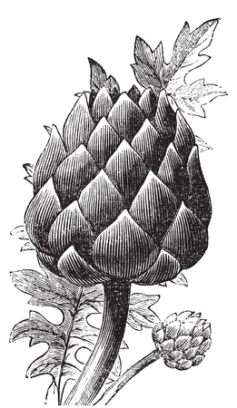 Artichoke, globe artichoke or Cynara cardunculus old engraving. Old engraved illustration of a close-up of an artichoke bud.