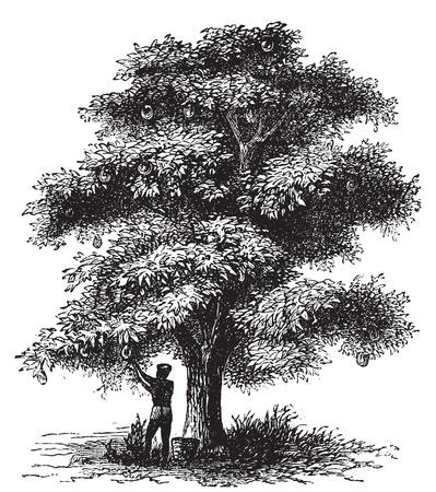 Artocarpe, Breadfruit of Artocarpus altilis oude gravure. Oude gegraveerde afbeelding van een man harversting een broodboom.