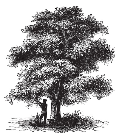 engraved: Artocarpe, Breadfruit or Artocarpus altilis old engraving. Old engraved illustration of of a man harversting a breadfruit tree.