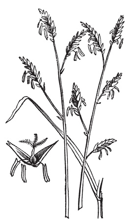 Arundinaria or Arundinaria macrosperma or commonly known as the Canes old engraving.. Old engraved illustration of a close-up of canes plant.