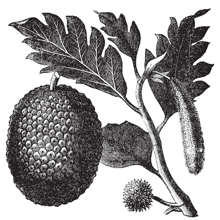 Breadfruit, Artocarpe or Artocarpus altilis old engraving. Old engraved illustration of of leaves, flowers and fruits of the breadfruit  Vector