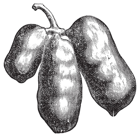 Common pawpaw, papaya or asimina triloba old engraving. Old engraved illustration of the asimina triloba fruit, isolated against a white background Stock Vector - 13771560