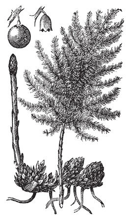 Asparagus or Asparagus officinalis old engraving. Old engraved illustration of asparagus vegetables and plant, isolated against a white background. Vector