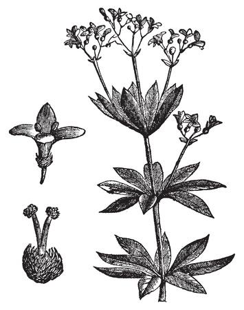 Asperula의 odorate 또는 달콤한 우드 러프, 포도 수확, 조각. 오래 된 흰색 배경에 대해 격리, asperula의 식물과 꽃의 근접 촬영 새겨 져 그림 일러스트