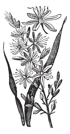 Branched Asphodel or Asphodelus ramosus, vintage engraving. Old engraved illustration of a Branched Asphodel plant showing flowers.