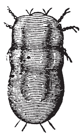 Locust mite or Astoma gryllaria, vintage engraving. Old engraved illustration of a locust mite, magnified.