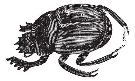 carrion: Scarab beetles, Scarabs, infraorder  Scarabaeiformia, or Ateuchus . Vintage engraving. Old engraved illustration of a Scarab beetles can be found worldwide. Illustration