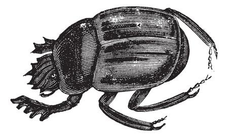 scarabeo: Scarabei, scarabei, infraorder Scarabaeiformia, o Ateuchus. Incisione d'epoca. Vecchia illustrazione inciso di un scarabei possono essere trovati in tutto il mondo.