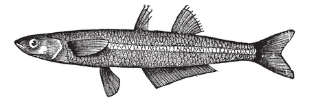 Atherina notata, Dotted Silverside, Atherinidae, Atherina boyeri or Big-scale sand smelt fish.Vintage engraving. Old engraved illustration of a Big-scale sand smelt fish found in the tropical and temperate waters. Vector