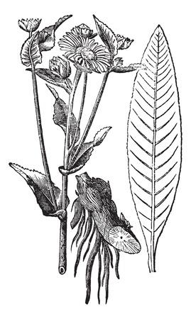 목향이나 말은 치유 또는 Inula의 helenium, 빈티지 조각. 오래 된 꽃을 보여주는 목향 공장 (왼쪽), 루트 (센터), 잎 (오른쪽)의 그림을 새겨 져있다.