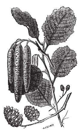shorter: Alder or Alnus sp., vintage engraving. Old engraved illustration of an Alder plant showing the longer male catkins (center) and shorter female catkins (bottom).