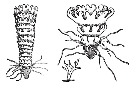 Life cycle of a Jellyfish or Aurelia, vintage engraving. Old engraved illustration of the life cycle of a Jellyfish showing attached polypoid stage (bottom), attached budding stage (left), and unattached medusa stage (right). Vector