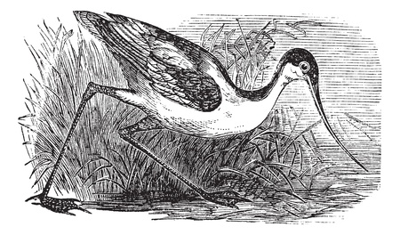 eurasian: Black-capped Avocet, Eurasian Avocet, Avocet or Recurvirostra bird. Vintage engraved. Old engraved illustration of an Black-capped Avocet found in regions with warm climates.
