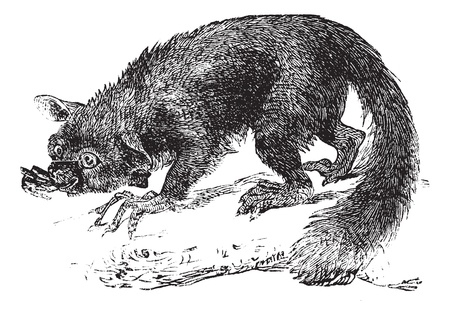 possum: The Aye-aye, lemur or Daubentonia madagascariensis. Vintage engraving. Old engraved illustration of a lemur. A strepsirrhine primate native to Madagascar. Illustration