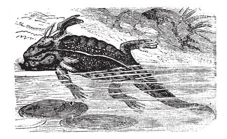 blooded: Axolotl or Mole Salamander, Ambystoma mexicanum, vintage engraving. Old engraved illustration of an adult Axolotl.