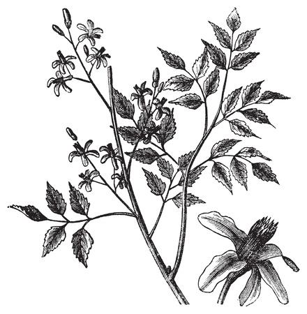 caoba: Caoba o Melia azedarach, el grabado de la vendimia. Ilustración del Antiguo grabado de un árbol de caoba que muestra las flores.