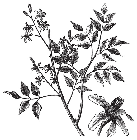 seed beads: Mahogany or Melia azedarach, vintage engraving. Old engraved illustration of a Mahogany tree showing flowers.