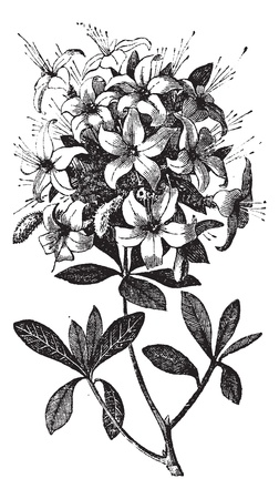 Azalea or Rhododendron sp, or azalea viscosa., vintage engraving. Old engraved illustration of an Azalea plant showing flowers.