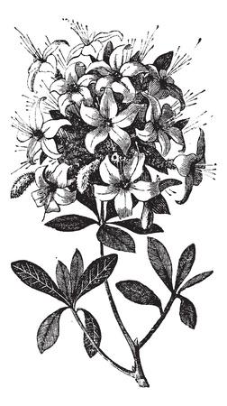 azal�e: Azalea ou Rhododendron sp, ou azal�e viscosa., Gravure mill�sime. Vieux illustration grav�e d'une usine de Azalea montrant des fleurs.