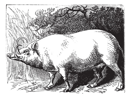 black tail deer: The Babirusa, Babyrousa, Buru babirusa or Pig-deer. Vintage engraving. Old engraved illustration of a a pig-deer specially found in some islands of Indonesia. Illustration