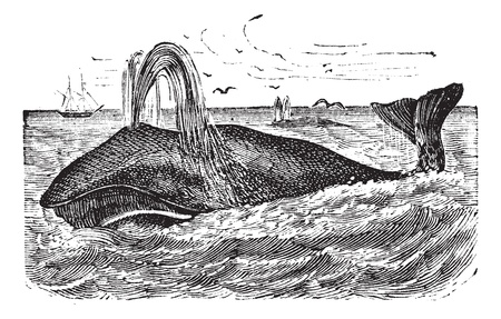 Bowhead Whale or Balaena mysticetus, vintage engraving. Old engraved illustration of a Bowhead Whale.