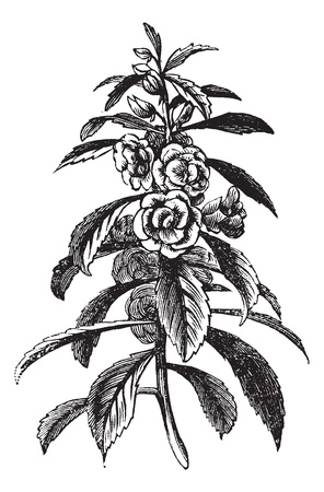 Garden Balsam or Rose Balsam or Impatiens balsamina, vintage engraving. Old engraved illustration of a Garden Balsam plant showing flowers. Vector
