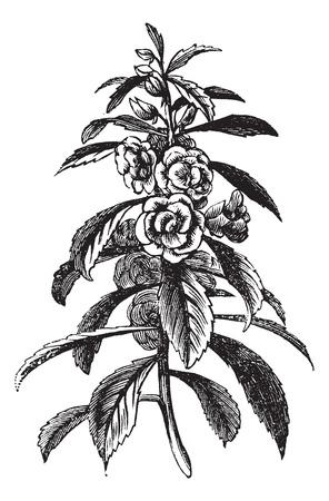 impatiens: Jard�n de b�lsamo o de rosado o b�lsamo Impatiens balsamina, el grabado de la vendimia. Ilustraci�n del Antiguo grabado de una planta de jard�n Balsam mostrando flores.