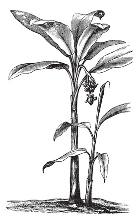 inflorescência: Banana or Musa sp., vintage engraving. Old engraved illustration of a Banana plant showing fruit and inflorescence.