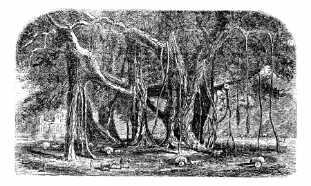 banyan tree: Banyan or Ficus benghalensis, vintage engraving. Old engraved illustration of a large Banyan tree showing aerial roots. Illustration