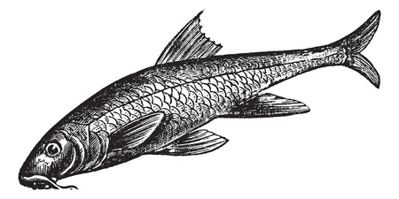 barb: Barbus barbus, Barbel, Barbus, Pigfish or Common Barbel. Vintage engraving. Old engraved illustration of a Common Barbel. A freshwater fish that native throughout Europe and China.
