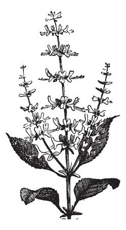 botanika: Bazalka pravá Ocimum basilicum nebo, vinobraní. Staré ryté ilustrace závodu bazalkou. Ilustrace