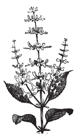 basilico: Sweet Basil o Ocimum basilicum, el grabado de la vendimia. Ilustraci�n del Antiguo grabado de una planta de albahaca. Vectores