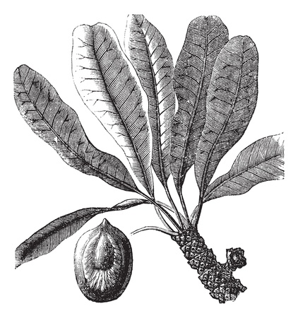 Bassia or Bassia sp., vintage engraving. Old engraved illustration of a Bassia plant showing seed (lower left).