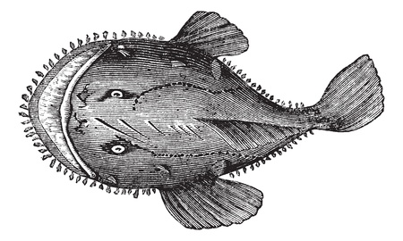 The American anglerfish, Goosefish, All-mouth, Fishing frog or Lophius americanus. Vintage engraving. Old engraved illustration of an American anglerfish found in the eastern coast of North America. Vector