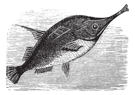 bellow: Longspine Snipefish or Bellowfish or Spine Trumpetfish or Macroramphosus scolopax, vintage engraving. Old engraved illustration of Longspine Snipefish.
