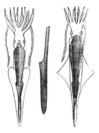 cuttlefish: Belemnites or Belemnoids, vintage engraving. Old engraved illustration of Belemnites.