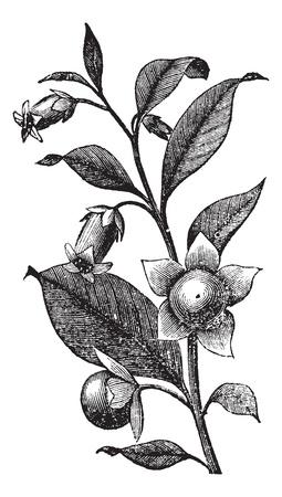Belladona or Deadly Nightshade or Atropa belladonna, vintage engraving. Old engraved illustration of Belladona plant showing flowers. Ilustração