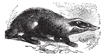 watchful: European Badger also known as Meles meles, vintage engraved illustration of European Badger.