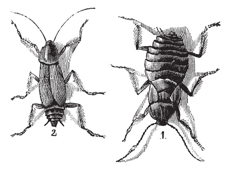 Male and Female, Cockroaches, vintage engraved illustration of Cockroaches.