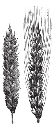 plantae: Winter wheat, wheat, vintage engraved illustration of Winter wheat isolated on a white background.
