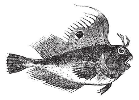 ocellaris: Blennius ocellaris also known as butterfly blenny, fish, vintage engraved illustration of Blennius ocellaris. Illustration