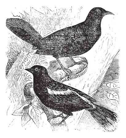 known: Bobolink also known as  Dolichonyx oryzivorus, two, birds, vintage engraved illustration of Bobolink. Illustration