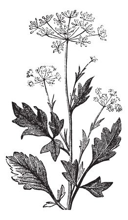 Anise or Anis or Aniseed or Pimpinella anisum vintage engraving.  Old engraved illustration of Anise seed Ilustracja