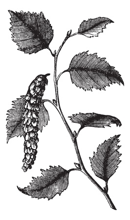 plantae: Betula papyrifera  also known as  Paper Birch, leaves, vintage engraved illustration of Paper Birch, leaves isolated on a white background.