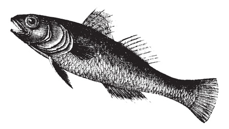 goby: Nero Goby noto anche come Gobius niger, vintage illustrazione inciso di Black Goby, pesce. Vettoriali