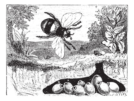 insecta: Bombus terrestris also known as buff-tailed bumblebee, bumblebee, nest, vintage engraved illustration of Bombus terrestris, nest.