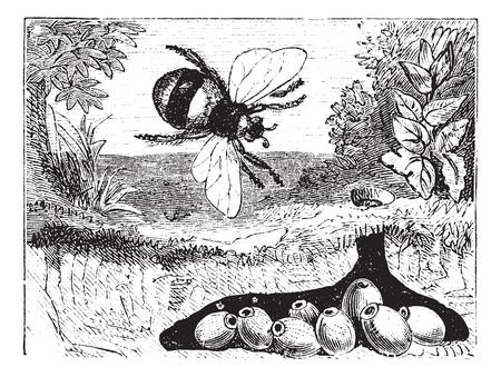 bombus: Bombus terrestris also known as buff-tailed bumblebee, bumblebee, nest, vintage engraved illustration of Bombus terrestris, nest.