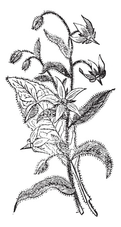 officinalis: Borage also known as  Borago officinalis, flowers, vintage engraved illustration of Borage flowers isolated against a white background.